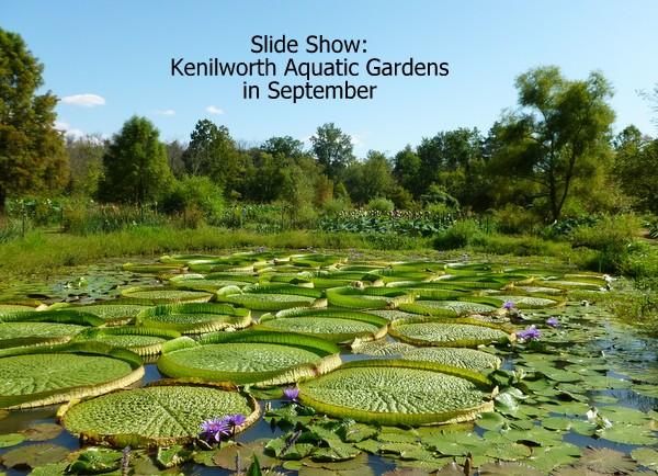 Kenilworth Aquatic Gardens in September   DC Gardens