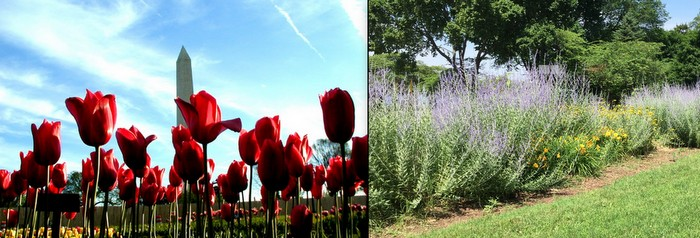 tulips perennials