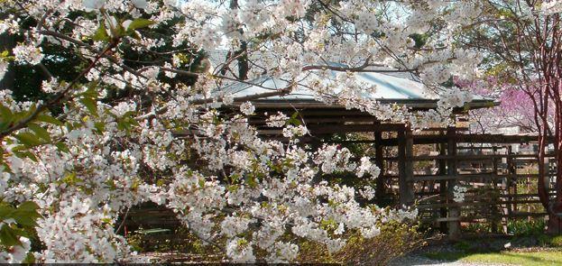 tudor cherry blossoms-001