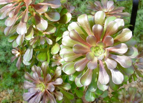 Mediterranean Room, U.S. Botanic Garden 16 - Aeonium arboreum