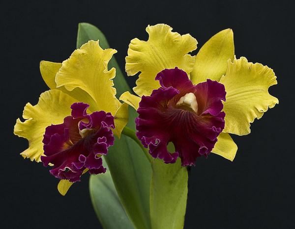 Orchid - Rhyncholaeliocattleya Toshie Aoki